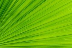 Texture de palmette verte Photos libres de droits