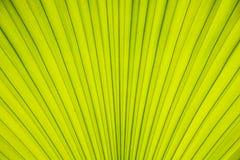 Texture de paume de feuilles Photo stock