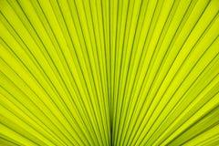 Texture de paume de feuilles Images stock
