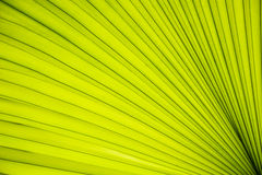 Texture de paume de feuilles Image stock