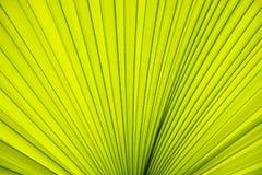 Texture de paume de feuilles Image libre de droits