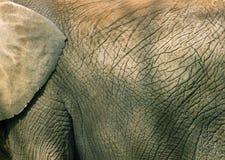 Texture de peau d'éléphant Photographie stock libre de droits
