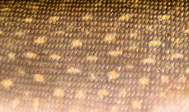 Texture de peau de brochet image libre de droits