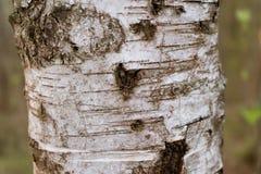 Texture de plan rapproch? d'?corce de bouleau Écorce de bouleau de dessin Coeur d'élément photos libres de droits