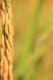 Texture de riz. Photo libre de droits