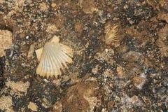 Texture de roche avec les fossiles marins photo stock