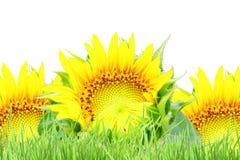 Texture de tournesol et fond de champ d'herbe Photographie stock libre de droits