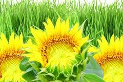 Texture de tournesol et fond de champ d'herbe Photos libres de droits