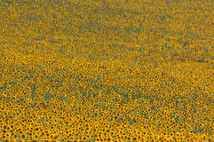 Texture de tournesols Photos libres de droits