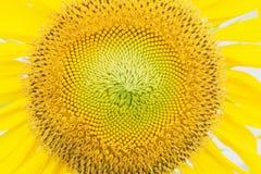 Texture de tournesols Fond de gisement de tournesols Photographie stock