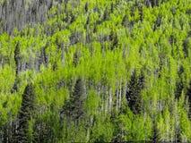 Texture de tremble et de pins image stock