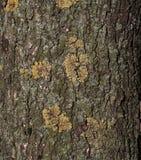 Texture de tronc d'arbre Photos libres de droits