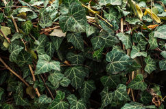 Texture de vert Photo libre de droits