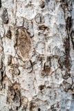 Texture de vieille écorce blanche d'arbre tropical Images libres de droits