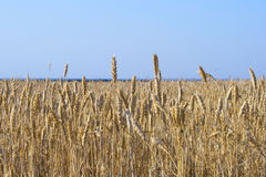 texture de zone de ferme s'élevant jaune Photographie stock libre de droits