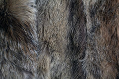 Texture of  dead wolf fur Royalty Free Stock Photo