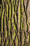 Texture deciduous tree Stock Images