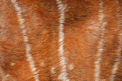 Texture of deer fur Stock Photo