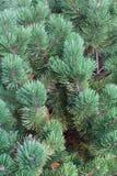 Texture dense verte de fond de pin Photos libres de droits