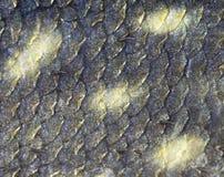 Texture des échelles de poissons Images libres de droits
