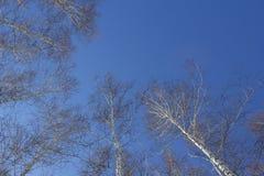 Texture des arbres dans la forêt tirée de bas en haut contre le ciel bleu image libre de droits