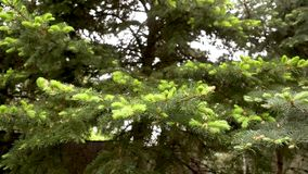 Texture des branches vertes de sapin Pousses de jeunes sur l'arbre, jeunes pousses vert clair sur un grand arbre banque de vidéos