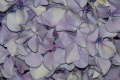Texture des feuilles d'un hortensia Photographie stock
