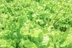 Texture des feuilles de la laitue fraîche Image libre de droits