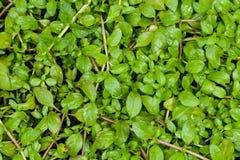 Texture des feuilles de Pennyroyal Photo libre de droits