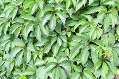 Texture des feuilles modelées naturelles lumineuses fraîches découpées par vert sur un buisson, usine, arbre Le fond Images libres de droits