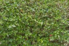 Texture des haies d'arbuste photo libre de droits