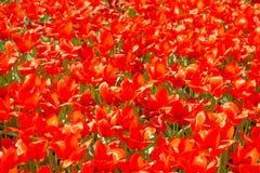 Texture des tulipes rouges Photo stock