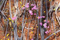Texture des wildflowers en bois, roses et jaunes brûlés fleurissant dans l'Australien à l'intérieur au printemps images stock