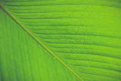 Texture and detail of Banana Leaf Royalty Free Stock Photos