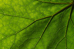 Texture detail and pattern of a plant leaf fig veins are the similar structure to an inverted tree Royalty Free Stock Photography