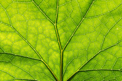 Texture detail and pattern of a plant leaf fig veins are the similar structure to  tree Royalty Free Stock Photos