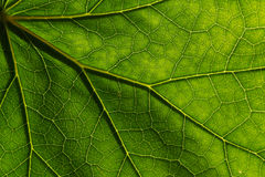 Texture detail and pattern of a plant leaf fig veins are the similar structure to tree. Detail of the texture and pattern of a fig leaf plant, the veins form stock photo