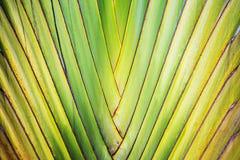 Traveler palm stalk Stock Image