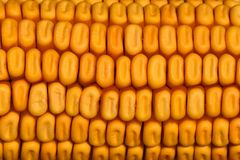Texture of a detailed golden dried corn cob stock photography