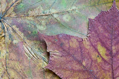Texture of the dried maple leaf Stock Photography