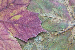 Texture of the dried maple leaf Royalty Free Stock Photos
