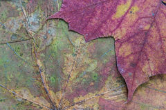 Texture of the dried maple leaf. Abstract texture a closeup of the dried maple leaf for backgrounds Stock Photo