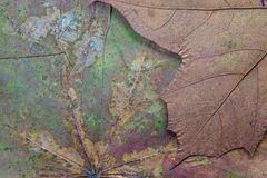 Texture of the dried maple leaf Royalty Free Stock Images