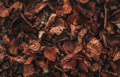 Texture of dry beech leaves laying on the forest soil in the autumn. stock image