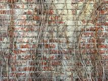 Texture of dry grapes on a brick wall royalty free stock photos
