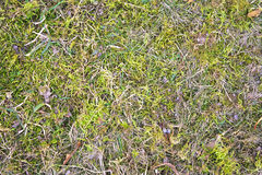 Texture of dry grass. On the ground Stock Images