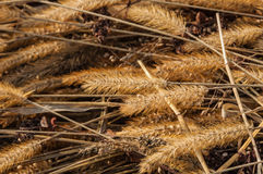 Texture dry grass spikelets Stock Images