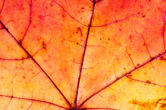 The texture of dry leaf of the tree. Macro Stock Image