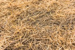 Texture of dry straw on farmland as a background. Texture, dry, yellow Royalty Free Stock Images