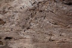 Texture of dry tree trunk Royalty Free Stock Image